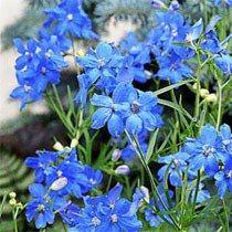 Delphinium grandiflorum sinensis-Eperon ND Référence 01417  Delphinium de chine. Feuillage découpé, fleurs d'un bleu azur étonnant . Touffes bien fournies et ramifiées.
