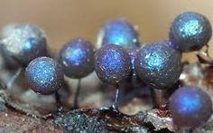 Lamproderma arcyrioides ile ilgili görsel sonucu