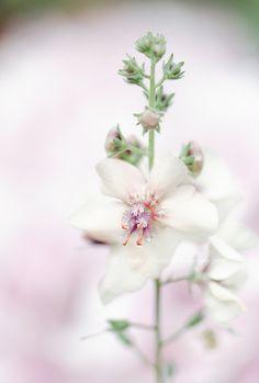 Vanilla Verbascum