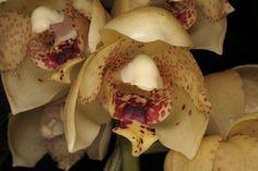A Acineta salazarii Soto Arenas (2003) é uma espécie pertencente a família botânica Orchidaceae frequentemente encontrada no México (Oaxaca, Chiapas) e El Salvador. Em seu habitat natural pode ser vista crescendo em regiões de mata, geralmente afixada na copa, tronco e cascas das árvores, eventualmente surge em meio a frestas e fendas de rochas.
