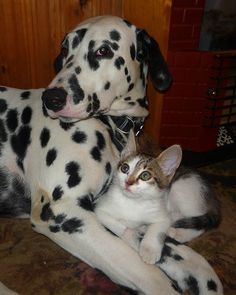 friends Fluffy Animals, Cute Baby Animals, Love Pet, I Love Cats, Crazy Cat Lady, Crazy Cats, Kittens Cutest, Cats And Kittens, Paws And Claws