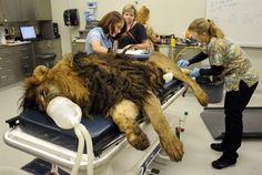 Veterinary students Nicole Bayless, left, and Megan Richards, along with technician Janet Pezzi, prepare an African lion named Tsavo for cancer treatment at the University of Tennessee's Veterinary Medical Center in Knoxville, Tenn. The 11-year-old big cat is undergoing radiation treatment for a large tumor near its mouth.