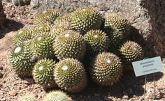 Mammillaria polythele. Central Mexico native. Ball/clumping shape. Varieties: (durispina) - tougher spines.