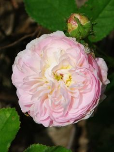 Gallica Rose- love the color- what is it? Description from pinterest.com. I searched for this on bing.com/images