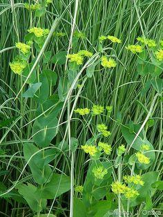 Miscanthus sinensis 'Morning Light' and Bupleurum rotundifolium; Nancy J. Ondra at Hayefield