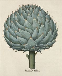 "Artichoke – from ""A Curious Herbal Antique Botanical Illustration"""