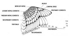 How To Clip Wings On Your Parrot, Cockatoo, Cockatiel Or Other Bird
