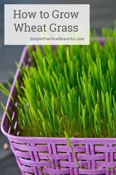 How to grow wheat grass from wheat berries or seeds in just a few days   Wheat grass for a beautiful living spring basket