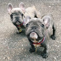 Double Trouble ❤️❤️ French Bulldog Puppies