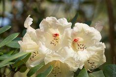 #Bretagne - #Finistère  #Trevarez : #rhododendron