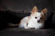 dog on grey sofa