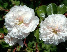 Jessica (Palatine Roses)
