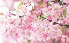Carta Da Parati Fiori Di Ciliegio : Fantastiche immagini in flowers su bellissimi fiori