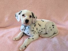 Litter of 8 Dalmatian puppies for sale in CONNELLYS SPRINGS, NC. ADN-41380 on PuppyFinder.com Gender: Female. Age: 4 Weeks Old