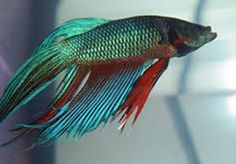 This looks EXACTLY like Gizmo, but Gizmo's fins are all transitioned to a bright red-orange combo.