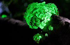 Bioluminescent fungus/mushrooms