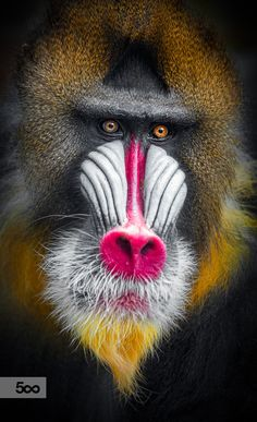 Closeup portrait of Mandrills, largest of all monkeys and one of seven species of baboons.