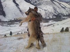 Giant Idaho Wolves Hunt, Kill In Packs Of Up To 20.....  This isn't 'hunting'—this is just killing for the joy of killing an animal.