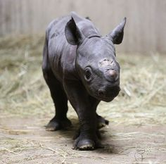 Lincoln Park Zoo Celebrates Birth of Endangered Eastern Black Rhino