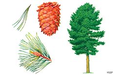 Шаблоны и картинки листьев  разных деревьев.Кедр Autumn Nature, Montessori Materials, Nature Journal, Tree Forest, Garden Trees, Plantar, Nature Crafts, Science And Nature, Botanical Illustration