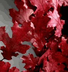 """Natural Preserved Fall Leaves Red Black Oak 24"""" 4-6 Branches"""