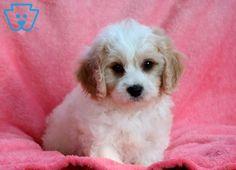 Flintstone | Cavachon Puppy For Sale | Keystone Puppies Cavachon Puppies, White Dogs, Puppies For Sale, Cuddle, Animals, Animales, Animaux, Animal, Animais