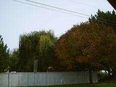 PT NAMPA IDAHO. FALL TREES. AUG 15
