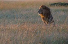Photo by @andywcoleman // Today is World Lion Day - a special day to celebrate these big cats and to recognize their critical role in helping nature to thrive.  These majestic animals are disappearing at an alarming rate.  When lions and other big cats decline, all of nature is thrown out of balance.  We saw this male as the sun was coming up in the Masai Mara, his flowing mane lighting up with the tall grasses of the savanna.  #WorldLionDay #BigCats @natgeocreative