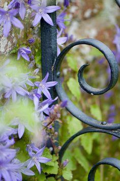 Clustered bellflower (Campanula glomerata) on iron gate, early June