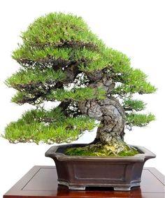 Black Pine, http://necotoban.blog.fc2.com/img/se1448.jpg/