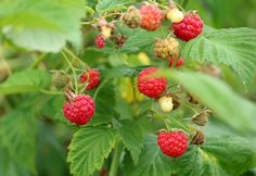 Tips and Advice for Growing Raspberries in Your Own Backyard - Garden and Happy Growing Raspberries, Raspberry Bush, Raspberry Plants, Amazing Gardens, Beautiful Gardens, Types Of Berries, Organic Fertilizer, Companion Planting
