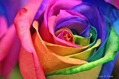Rosa Multicor