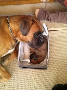 A boxer dog! A boxer dog! Source by myrnalynperkins The post The mom . A boxer dog! appeared first on Hannah Dogs. Boxer Puppies, Cute Puppies, Cute Dogs, Dogs And Puppies, Doggies, Cavapoo Puppies, Chihuahua Dogs, Puppys, Boxer Mom