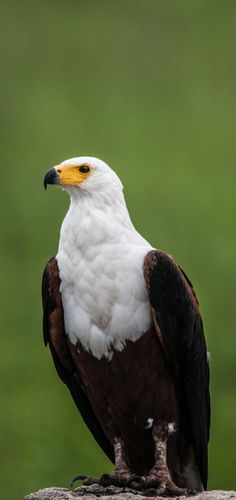 A portrait photo of an eagle. #Birds #Animals #Eagle #BirdsOfPrey