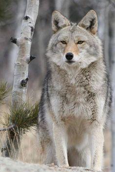 Renard ou loup?? D'après vous
