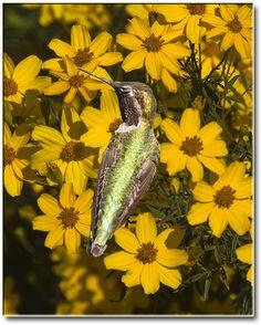 Humming Bird by Romair, via Flickr