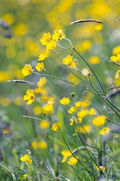 Windblown Buttercups by Christine Barraclough on Flickr