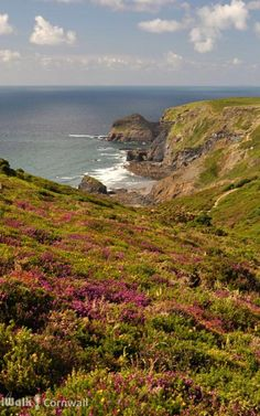 Heather beside the coast path at Alder Run, near Boscastle, Cornwall.