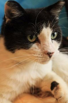 Meet Oreo, an adoptable Domestic Short Hair looking for a forever home. If you're looking for a new pet to adopt or want information on how to get involved with adoptable pets, Petfinder.com is a great resource.