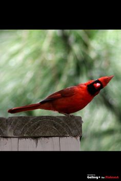 """cardinal...[i can practically hear him say """"are you looking at me"""" rp]"""