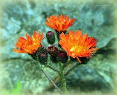 Pilosella aurantiaca (Orange Hawkweed or Foxes and Cubs).