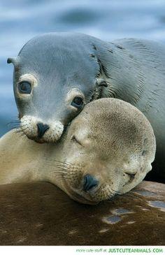 Zeeleeuwen knuffel
