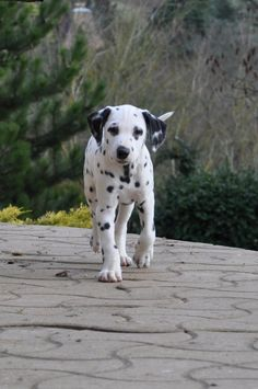 You can see the spring in his step! :) #dalmatian