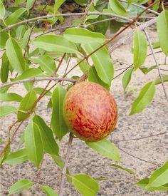Mangaba / Hancornia speciosa