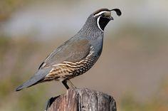 Perdiz da Califórnia (codorna) - Aves Ornamentais - Perdiz   Codorna   Fazenda Visconde