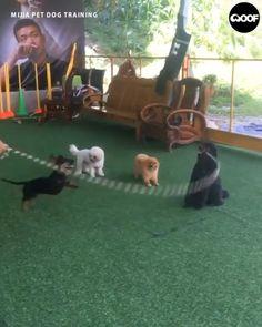 Funny Dachshund - Funny And Healthy Dachshund Funny, Dachshund Puppies, Funny Dogs, Cute Puppies, Pet Dogs, Wiener Dogs, Puppies Tips, Mini Dachshund, Doggies