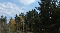Gold Trees Sept.23, 2012  :    DSCN7366