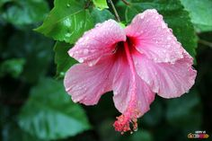 Hibiscus, Guadeloupe