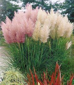 pampasgras | meds, pampas grass and du, Haus und garten