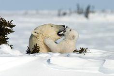 Ein intimer Moment im Familienleben der Eisbären von Thorsten Milse